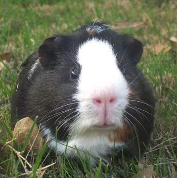guinea-pig-0020.jpg